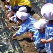 しろ 1歳児 お誕生日会☆お芋の苗植え