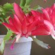 蝦蛄葉サボテンの花