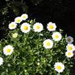 おはようの花」 ノースポール12月