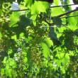 ブドウ畑 1