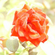 薔薇 (花 4675)