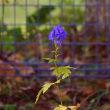 初冬に咲く珍しい花・・・サフラン、キチジョウソウ、ホトトギス、トリカブト