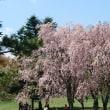 アウトレットの桜