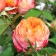 薔薇【フレグラント・アプリコット】【プリンス・オブ・インフィニティ】
