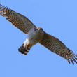 2018.03.18(日)の日誌(春の鷹渡り#18-02-02:ハイタカの飛翔)