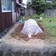 白菜を植えました