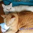 どすこいニャンズの予防注射と猫からうつる病気など
