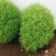 今の季節のコキアのグリーン