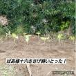 大根2回目の間引きと虫喰い小松菜‼