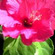 寒中、ハイビスカスが咲いた!