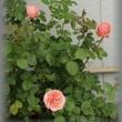 ハボタン マルモドルチェ&萌花(モカ)セッション +RG庭 薔薇*