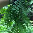 山椒の葉採り