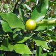 柑橘いろいろ。花柚子、たねなし金柑「ちびまる」、じゃばら/花粉症予防効果に期待!? 幻の果実「じゃばら」とはどんなもの?