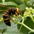 ヤブガラシの花にスズメバチが