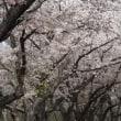 桜が咲いた 綺麗に咲いた 見事に咲いた
