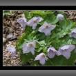 六甲高山植物園の花