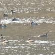 モエレの水鳥たち 10/20 ミコアイサが来ました