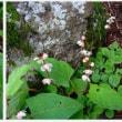 北横岳に咲く花
