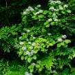 アジサイ、エゴノキ、ガマズミ、キリ / 植物誌