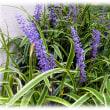 秋の到来を感じる花(^^♪紫色の小さな花をたくさん付けいっぱい咲いている「ヤブラン(藪蘭)」
