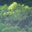 福井 鳩ケ湯温泉のアオバト Ⅱ