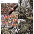 桜と金の成る木そして梅の花です。寒暖が激しいので咲く時期が変です。