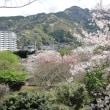 伊豆市土肥 桜の開花情報!4月12日!