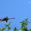 今日の野鳥 ・・・ モズ 【その①】・・・ 餌を運んで 。。