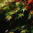 楓 (花 4679)