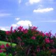 百日紅の咲く風景