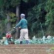 秋の長雨に晴れ間 ホウレンソウ農家忙し