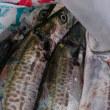 予感的中、念願の魚「サゴシ」を釣った