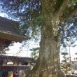 神奈川名木百選総世寺のカヤ