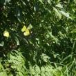 憧れの蝶。
