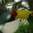 ミニカトレアが開花