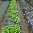 直売所で人気が高いサラダ春菊。振り返り&長く採り続けるには…