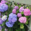 昭島市宮沢町の紫陽花