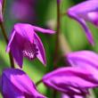 プレイオネ属の花