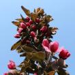 りんごの授粉樹「メイポール」が咲き始めました