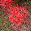 春は桜、秋は彼岸花 fascinated by the scenic beauty of cluster amaryllis