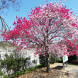 サクラ(Cerasus  / Prunus)