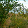 二コチアナ・グラウカ  Nicotiana glauca