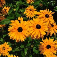 前鶴公民館にたくさん咲いているルドベキアの仲間 (Photo No.14370)