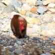 蛇谷峡谷に野猿の群れが