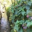 秋の紫陽花と上水道、その他 🏞 2018年10月30日