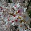 桜in舞鶴公園