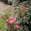 ☆庭バラを切って楽しむ