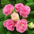 プリムラ・ジュリアンの花は