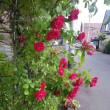 赤ばら 開花