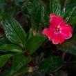 雨の日に赤い花、白い花。